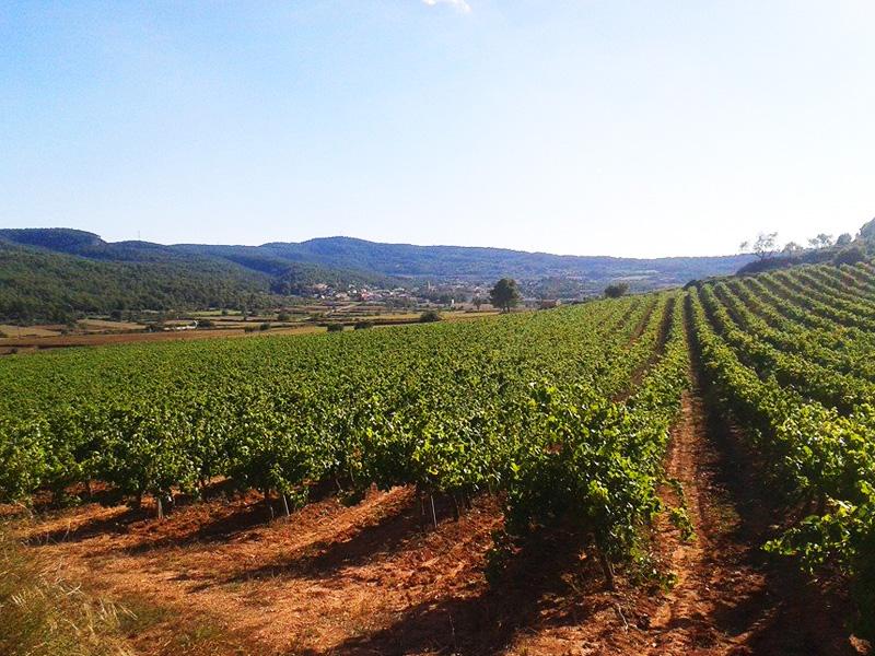 Viticultura de muntanya dins la denominació d´origen Penedès.